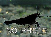 No Photo, unknown, freshwater shrimps